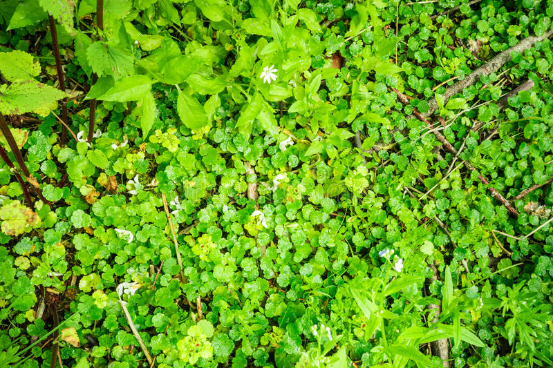 The forest floor of small green wet leaves. Forest floor of small green wet leaves royalty free stock photo