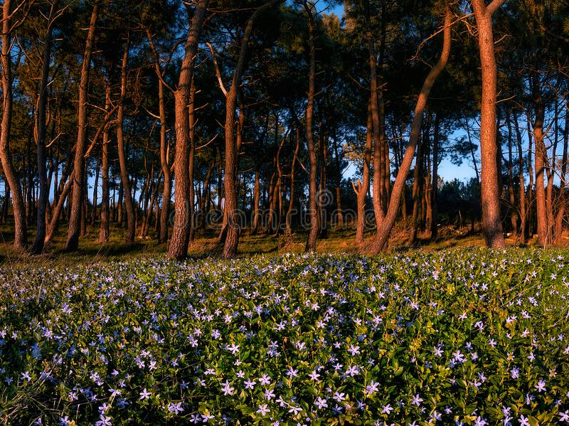 Forest with flowers at spring in La Galea royalty free stock photos