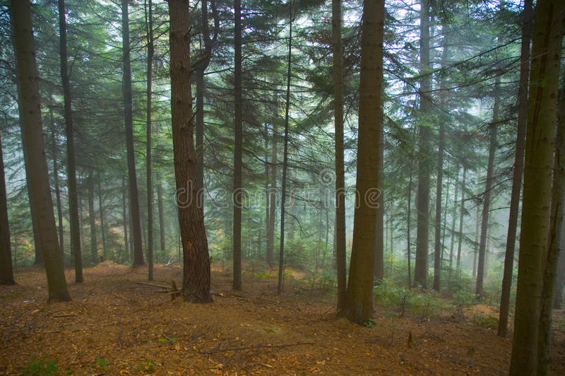 Download Forest in the fog stock photo. Image of leaves, mystic - 11967010