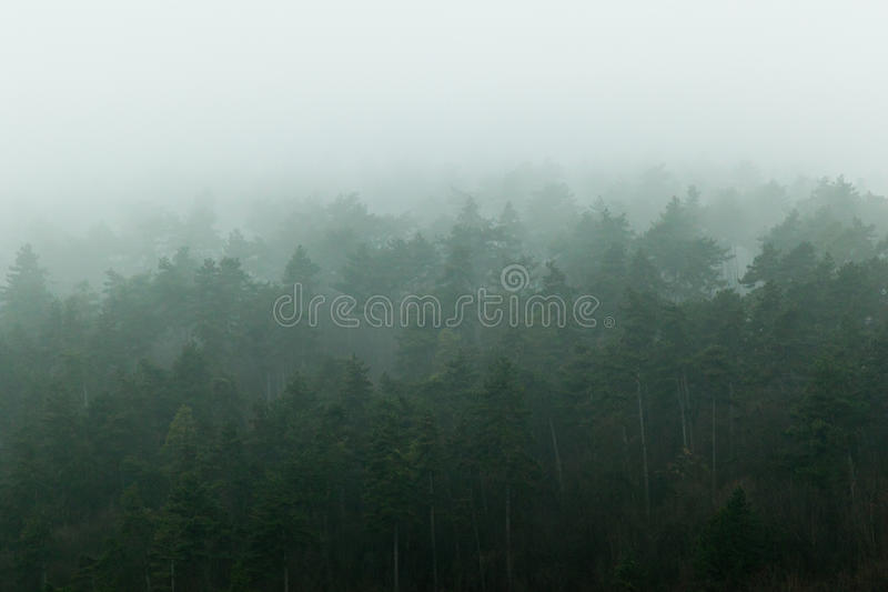 Forest in fog. Pine forest on hill side covered in deep fog stock photos