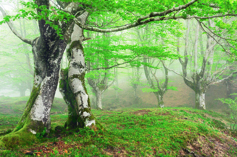Forest with fog in spring stock image