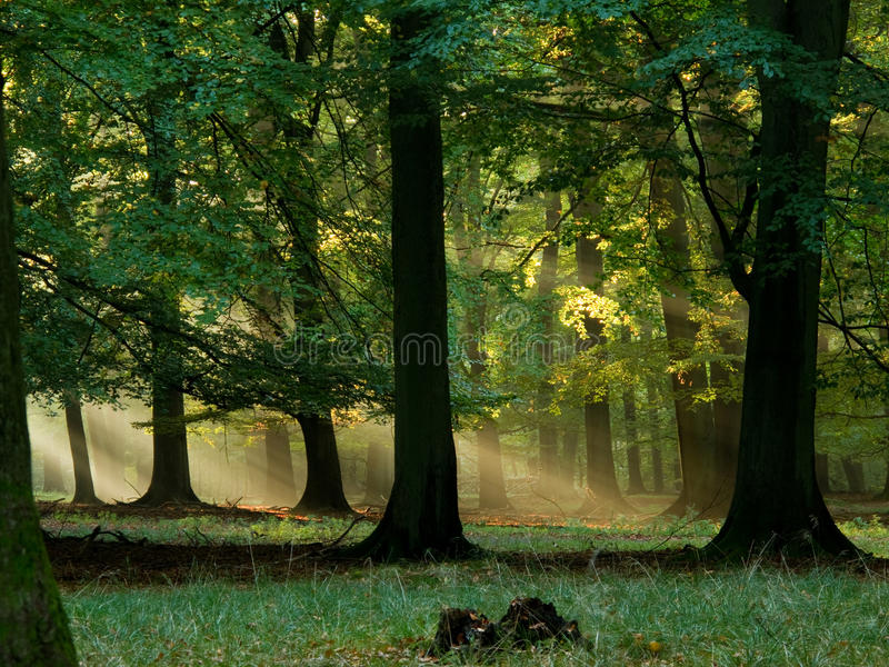 Download Forest With Fog And Warm Sunshine Stock Image - Image: 16612787