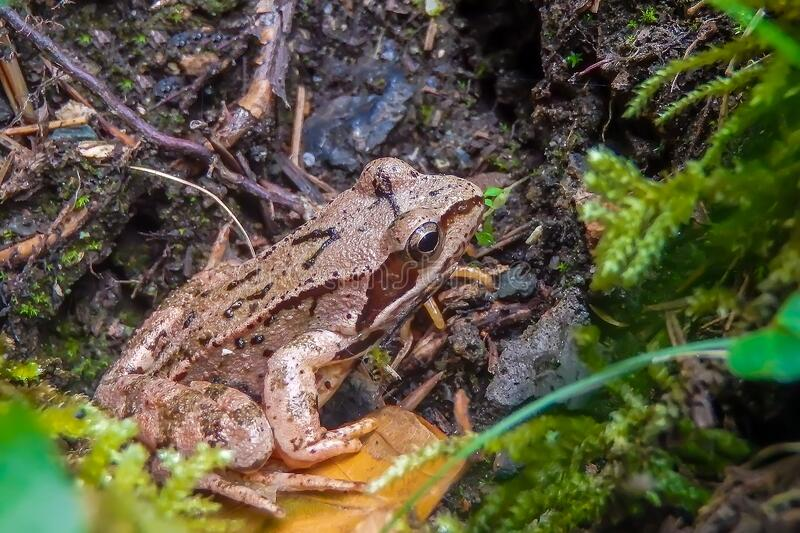 Forest brown frog closeup in natural environment. Forest frog closeup in natural environment royalty free stock images