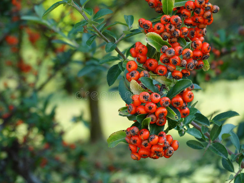 Forest Fruits - Pyracantha/Oranje Bes royalty-vrije stock foto's