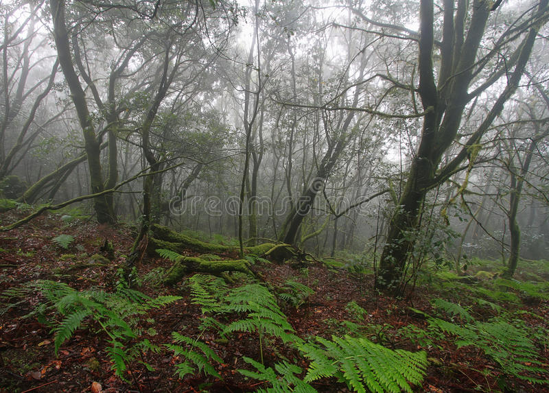 Forest in Garajonay National Park, La Gomera stock image