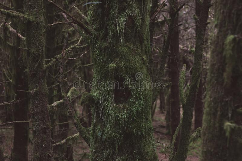 Forest ghosts. A face in the side of a tree royalty free stock photo
