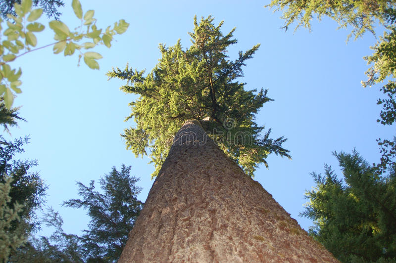 Forest Giant stock photography