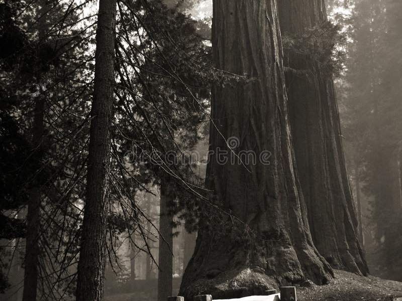 Download Forest Giants Stock Images - Image: 9120754