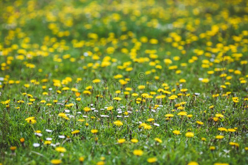 Forest Glade with green grass and yellow dandelion flowers and white daisies. In summer time royalty free stock photo
