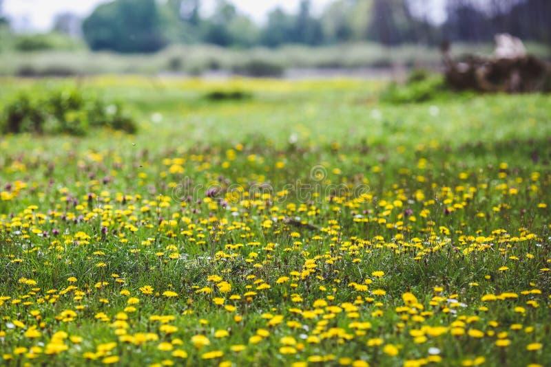 Forest Glade mit grünem Gras und gelben Löwenzahnblumen- und weißengänseblümchen lizenzfreie stockfotografie