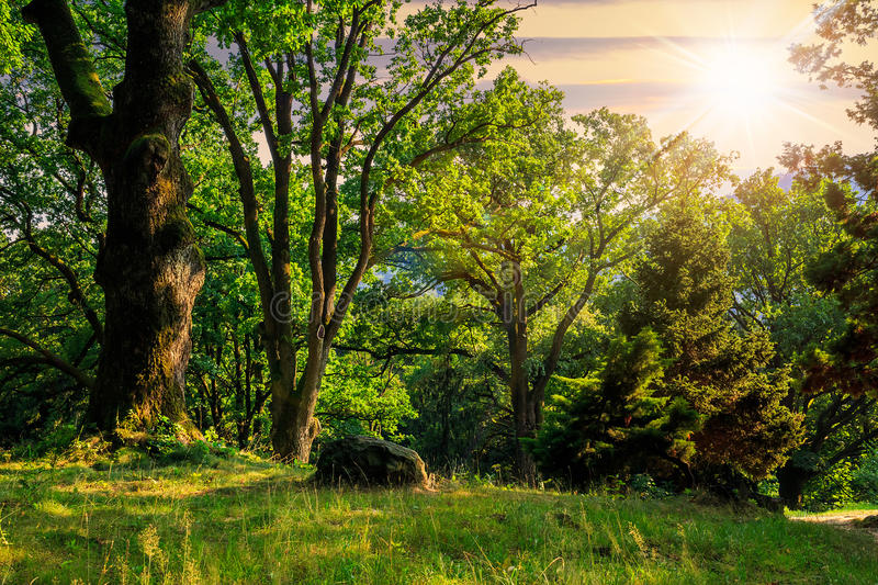 Forest glade in shade of the trees at sunset. Forest glade in the cool shade of three oak trees on a hot summer evening at sunset royalty free stock photography