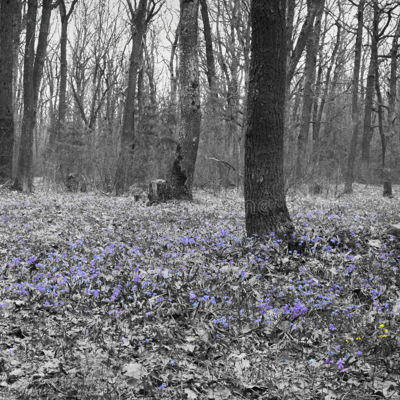 Forest glade of spring early flowers. A carpet of Scilla Siberia. Forest glade spring early flowers. A carpet of Siberian Squill. colorless background stock image