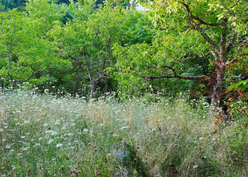 Forest Grass et Wildflowers photo stock