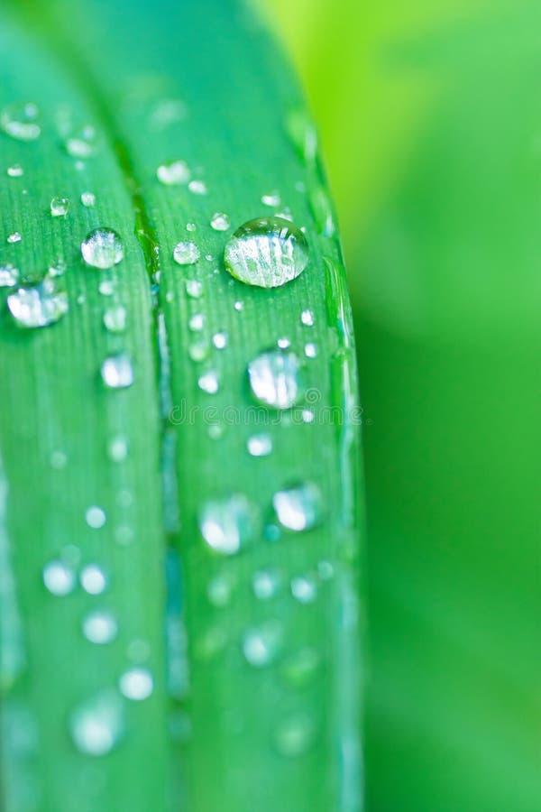 Forest Grass Leaf verde fresco após a chuva com gotas da água Fundo botânico da natureza Molde do cartaz do papel de parede do fu imagem de stock