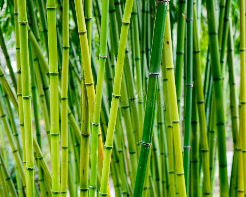 Forest Green de bambú y bosque de bambú vibrante en Asia imágenes de archivo libres de regalías