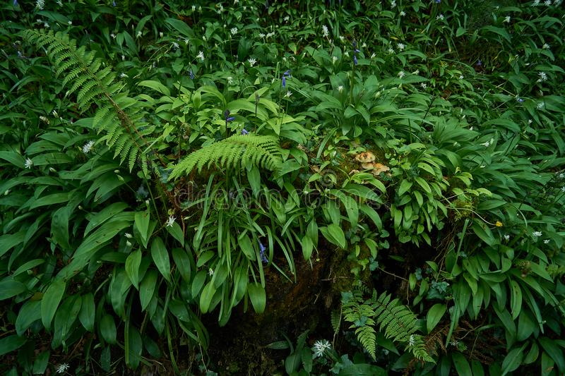 Forest green ground plants background. Spring forest green ground, mixed with fern plants, blue bell flowers, mushrooms and wild garlic stock images