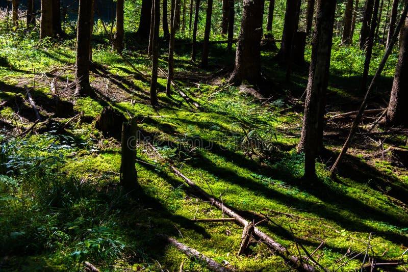 Forest Ground iluminado por el sol con el musgo fotografía de archivo libre de regalías