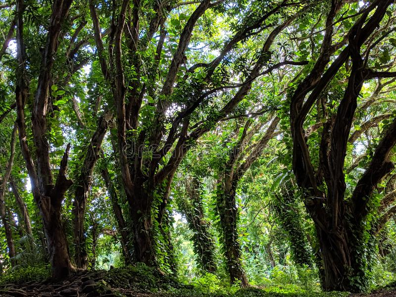 Forest Growth tropical dans Hilo Hawaï image stock