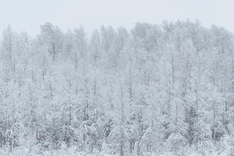 The forest has covered with heavy snow and bad weather sky in winter season at Holiday Village Kuukiuru, Finland. Background beautiful big blizzard blue stock photos