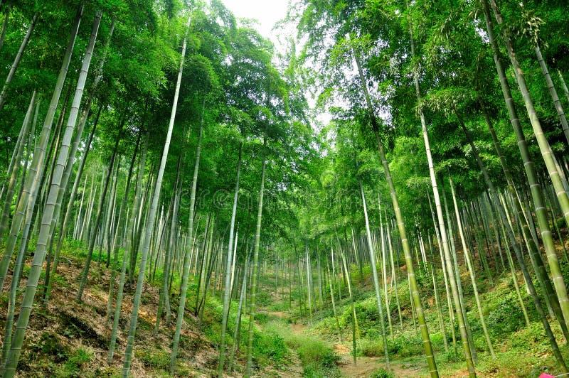 Forest Hiking Trail de bambu fotos de stock royalty free