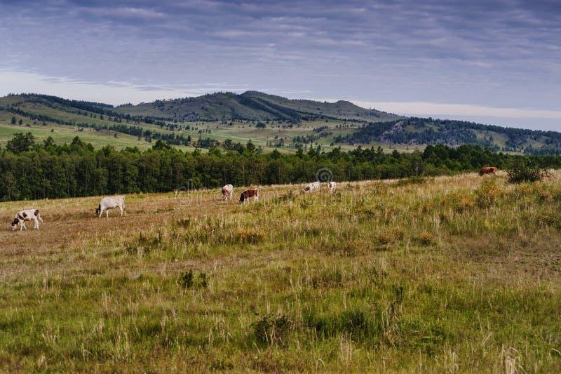 Forest&hills, um rebanho das vacas, verão em Sibéria, Rússia fotos de stock royalty free