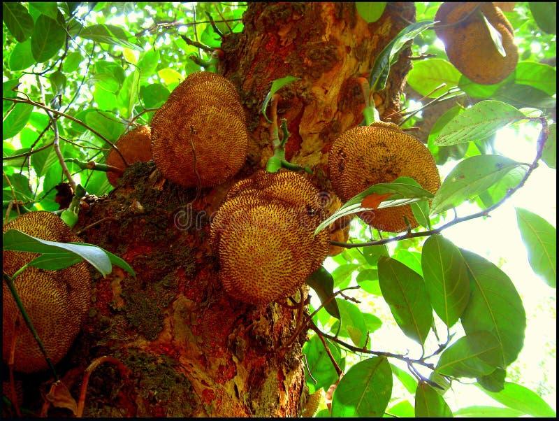 Jackfruits tree. Forest jackfruits tree stock photo