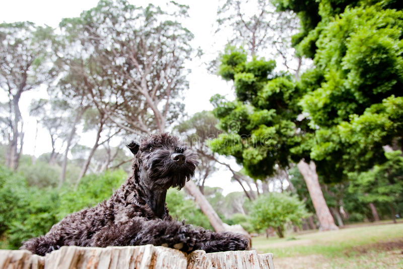 Forest kerry blue terrier puppy. Kerry blue terrier puppy lying on a log in the forest stock image