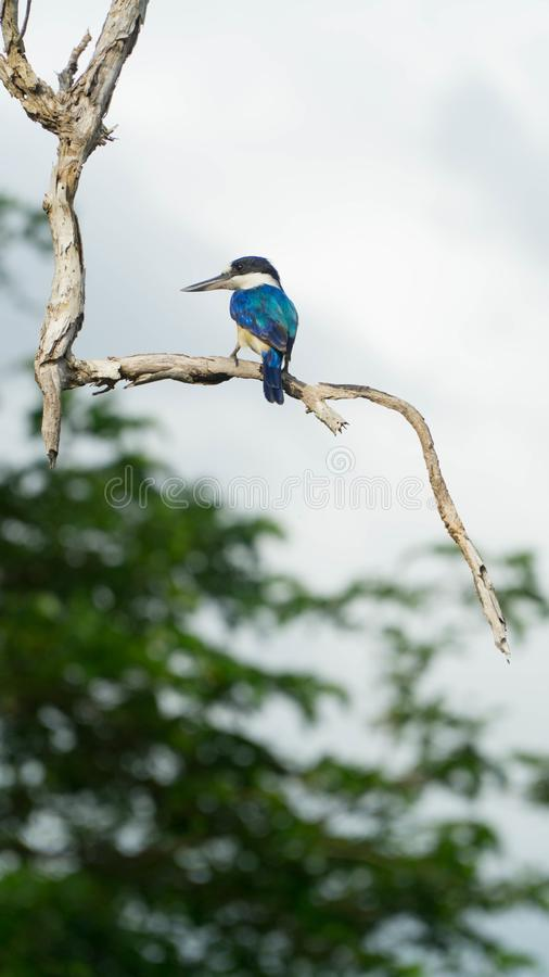 Forest Kingfisher bleu s'asseyant sur la branche en parc national de Kakadu, Australie photo libre de droits
