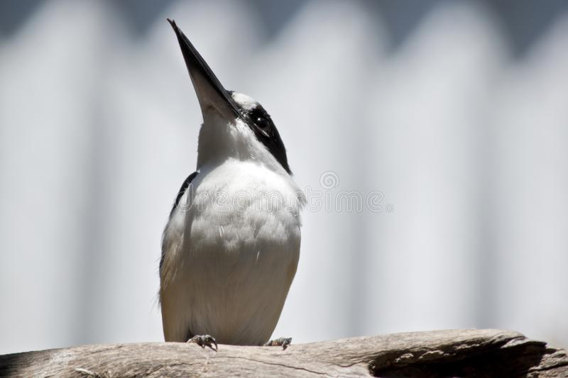 A forest kingfisher stock photography
