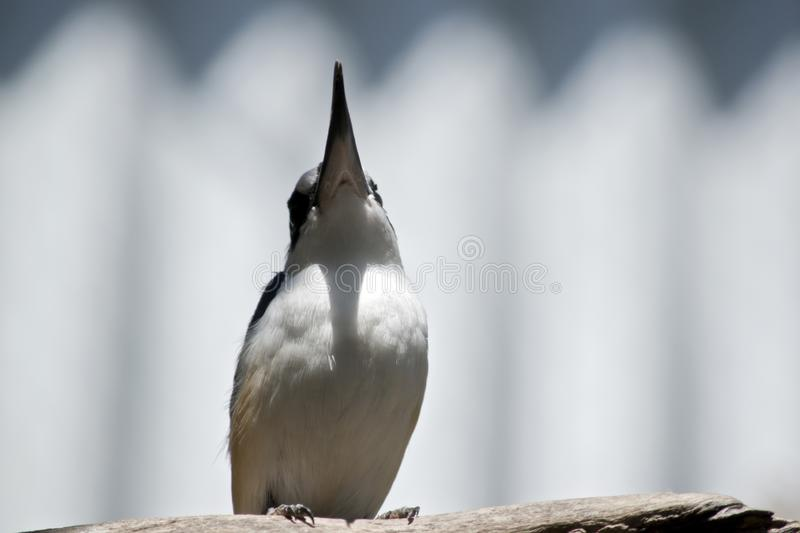 A forest kingfisher royalty free stock photography
