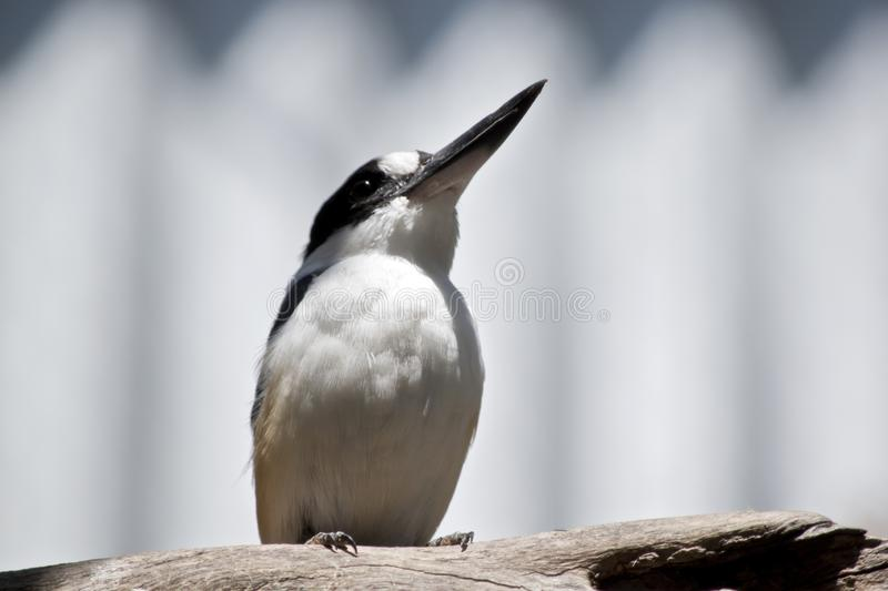 A forest kingfisher royalty free stock photo
