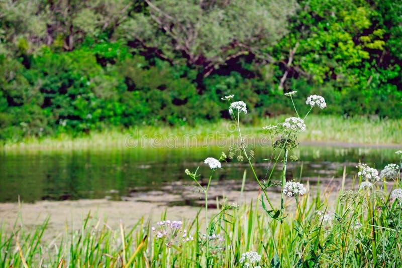 Forest Lake På våren är träden runt om sjön ljusa - gräsplan arkivfoton