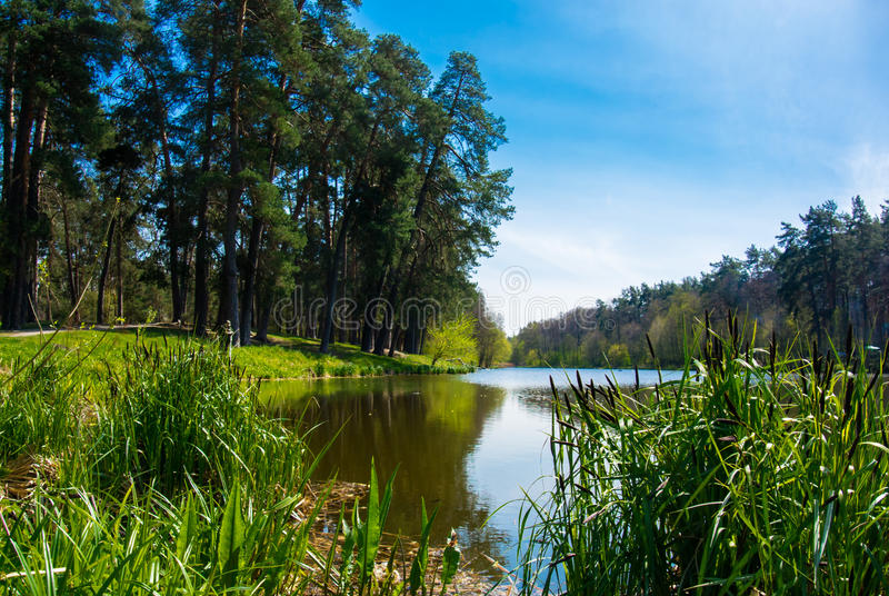 Forest lake with small canes. And blue sky stock photography