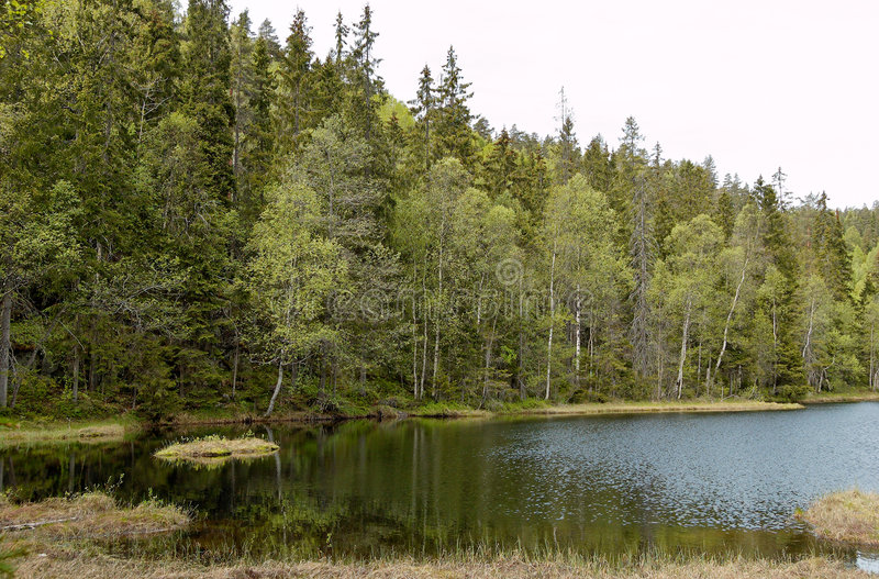 Download Forest Lake in Summer stock photo. Image of birch, grass - 4788418