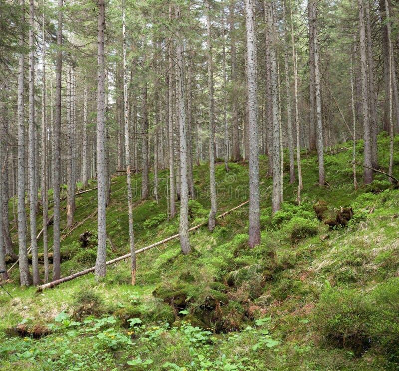 Download Forest landscape stock photo. Image of pine, landscape - 7352110