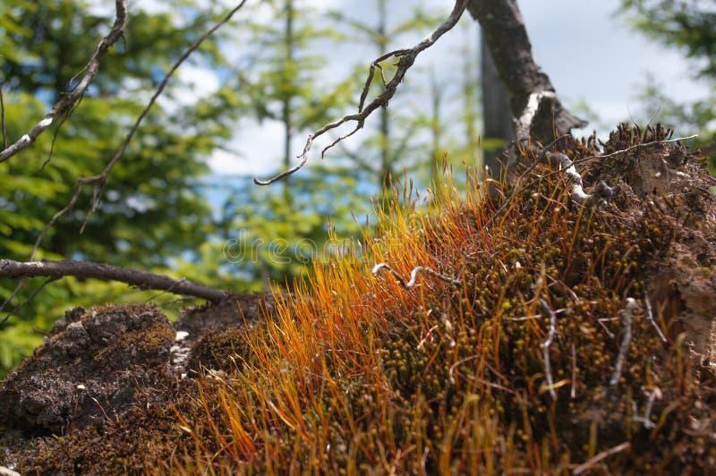 Forest Landscape mit Detail des gefärbten Mooses während der Sommerzeit lizenzfreie stockfotos