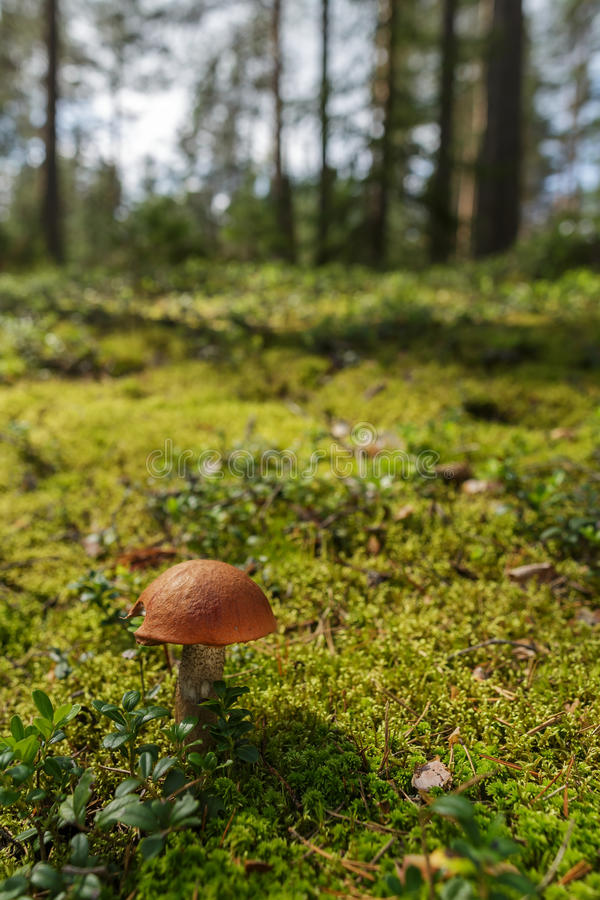 Forest landscape with moss and mushrooms. Mushroom boletus on the background of green moss and trees stock photos