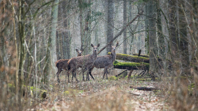 Forest landscape with several young brown deer in the thicket of the spring forest. A few carefully watching the deer in the depths of the spring forest.Forest royalty free stock images