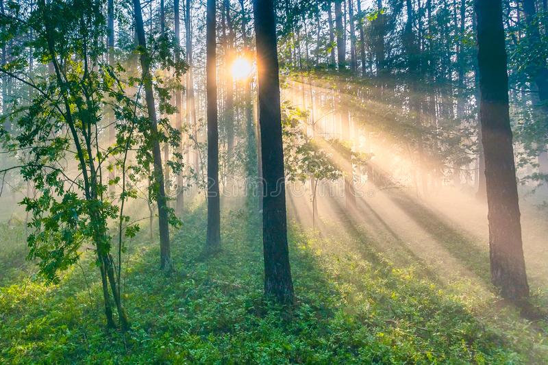Forest landscape with thick fog and light rays royalty free stock images