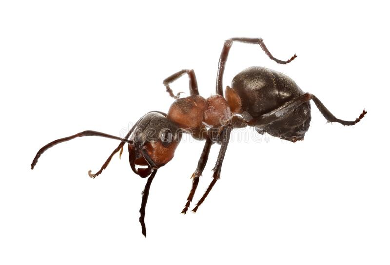 Forest large isolated dark brown ant stock image