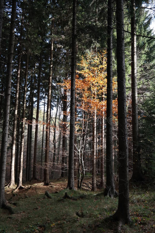 Forest light royalty free stock photos