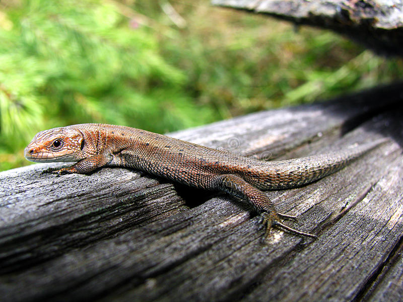 Forest Lizard royalty free stock photography