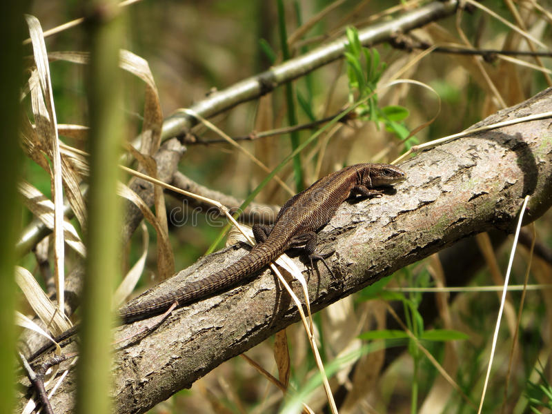 Forest lizard basking stock photos