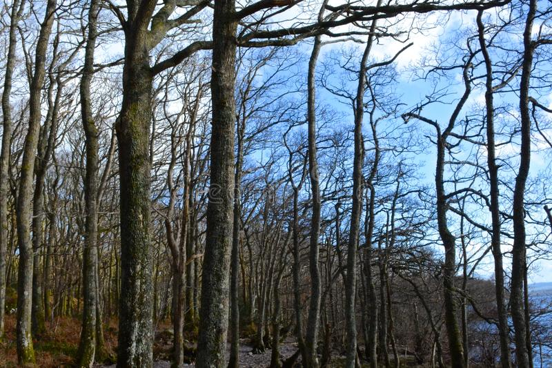 Forest at Loch Lomond royalty free stock photography
