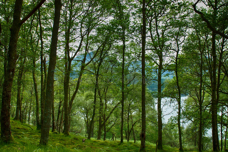 Forest by Loch Lomond royalty free stock photography