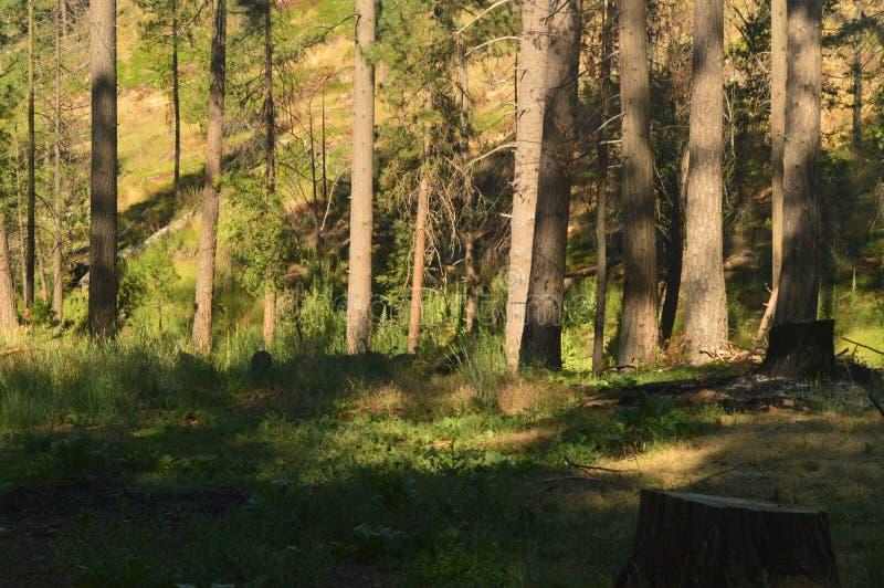 Forest With Many Peacocks Sucking para arriba para el parque nacional de Yosemite del día de la acción de gracias Días de fiesta  foto de archivo libre de regalías