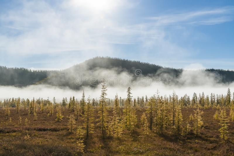 russian nature, forest mist, pine trees in fog, autumn, sun rays royalty free stock images