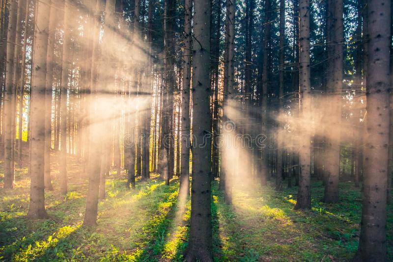 Forest and mist at sunrise royalty free stock image