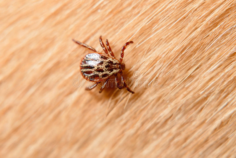 Forest mite on dog hair. Tick royalty free stock photo