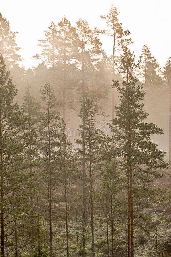 Forest with morning mist stock image